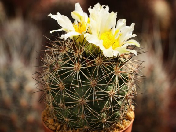Pediocactus nigrispinus BB 93-2 Oregon - white flower -grafted