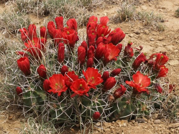 Echinocereus triglochidiatus Tinian, Mc Kinley Co, NM | foto: Zdeněk Vaško