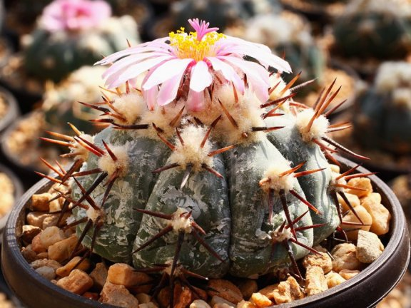 Echinocactus horizonthalonius KS 197b La Ascension, NL - 10 seeds