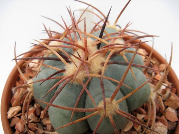 Echinocactus horizonthalonius Hot Springs, Tx - 10 seeds