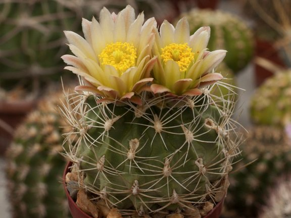 Sclerocactus pubispinus SB 1467 White Pine Co, Nv - 10 seeds