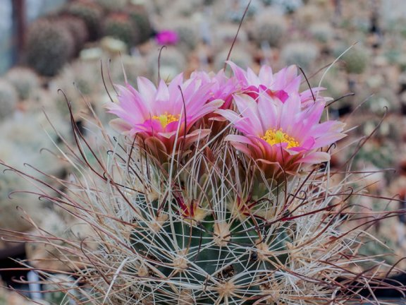 Sclerocactus nyensis RP 137 Silver Peak, Nv - grafted