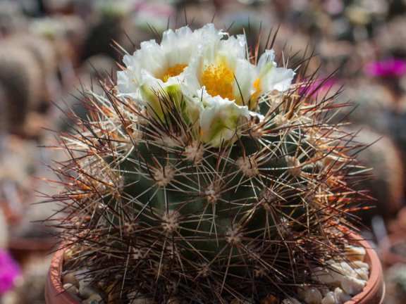 Pediocactus nigrispinus BB 93-2 Oregon - white flower - 10 seeds