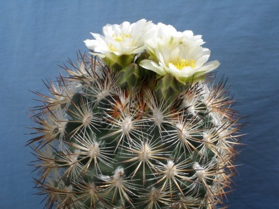 Pediocactus simpsonii ssp. robustior FH 115 Humboldt River, Nv - 10 seeds
