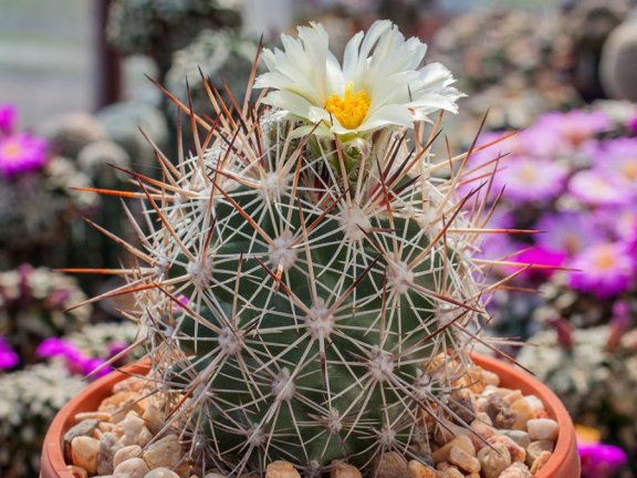 Pediocactus sileri FH 0203 Washington Co, Ut - 10 seeds
