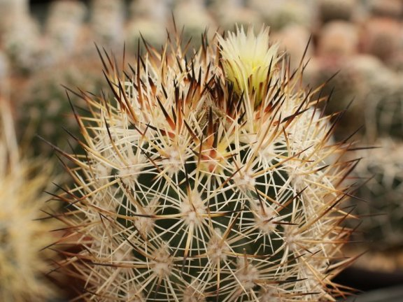 Pediocactus sileri FH 0203 Washington Co, Ut